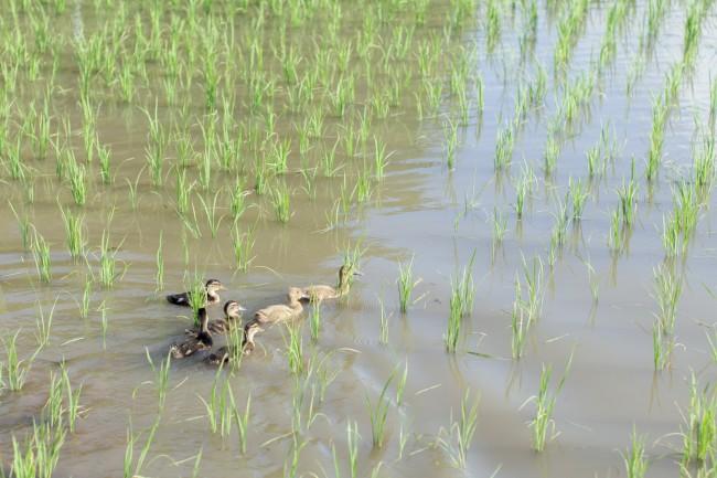 (上から)向山さんらが「アイガモ農法」を行う田んぼ。写真中央近くにある鳥居は、冒頭の写真で紹介した宇受賀命神社の入口のもの / 今年は約130羽のアイガモを放ったが、ひと月ほどでその9割がカラスに食べられてしまったという。さまざまな対策をしてきたが状況改善は難しく、悩ましい問題となっている