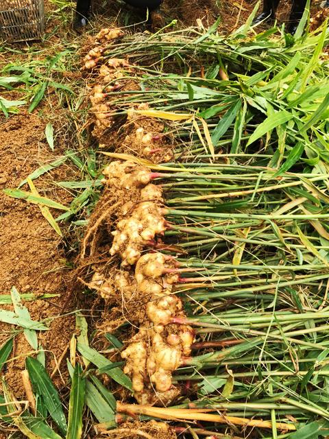 掘り起こしたばかりの生姜。