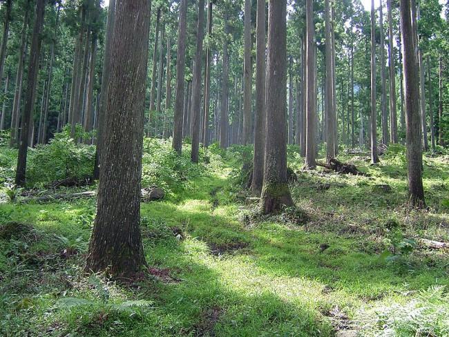 丁寧に管理された樹齢100年級の村の森林(写真提供:株式会社 西粟倉・森の学校 )