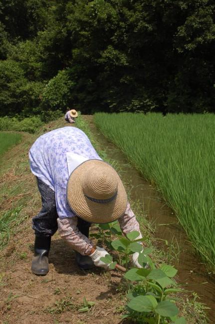あぜ豆の栽培は、幼苗が育つまで害虫や獣害、雑草から守るためにとても手間ひまがかかる地道な作業だ(まるやま組提供)