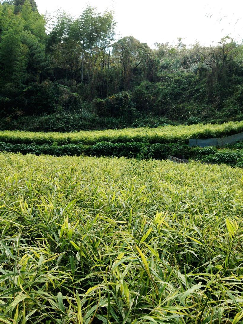 オーガニックの生姜畑。