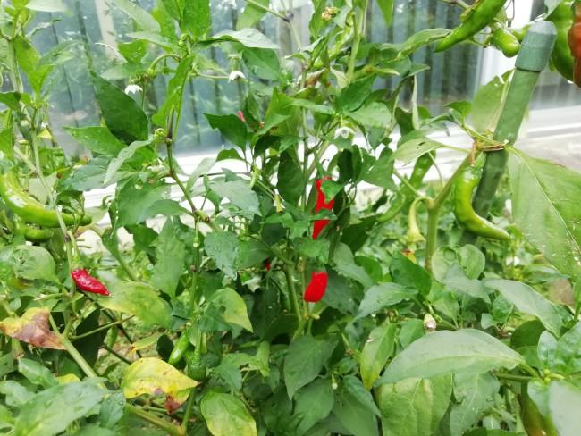施設の畑で育つ伏見唐辛子。記憶の障がいと身体の障害を重複する参加者が15年の大変な努力の末、植物の性質を把握して自身で野菜を育て上げる