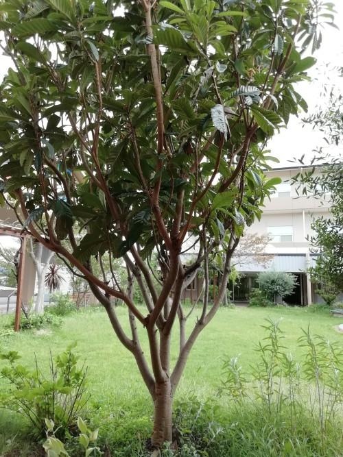 庭にあるビワの木は、10年ほど前に育て方を学んだ参加者が昼食のデザートに出たビワの種を植えて大きく育った
