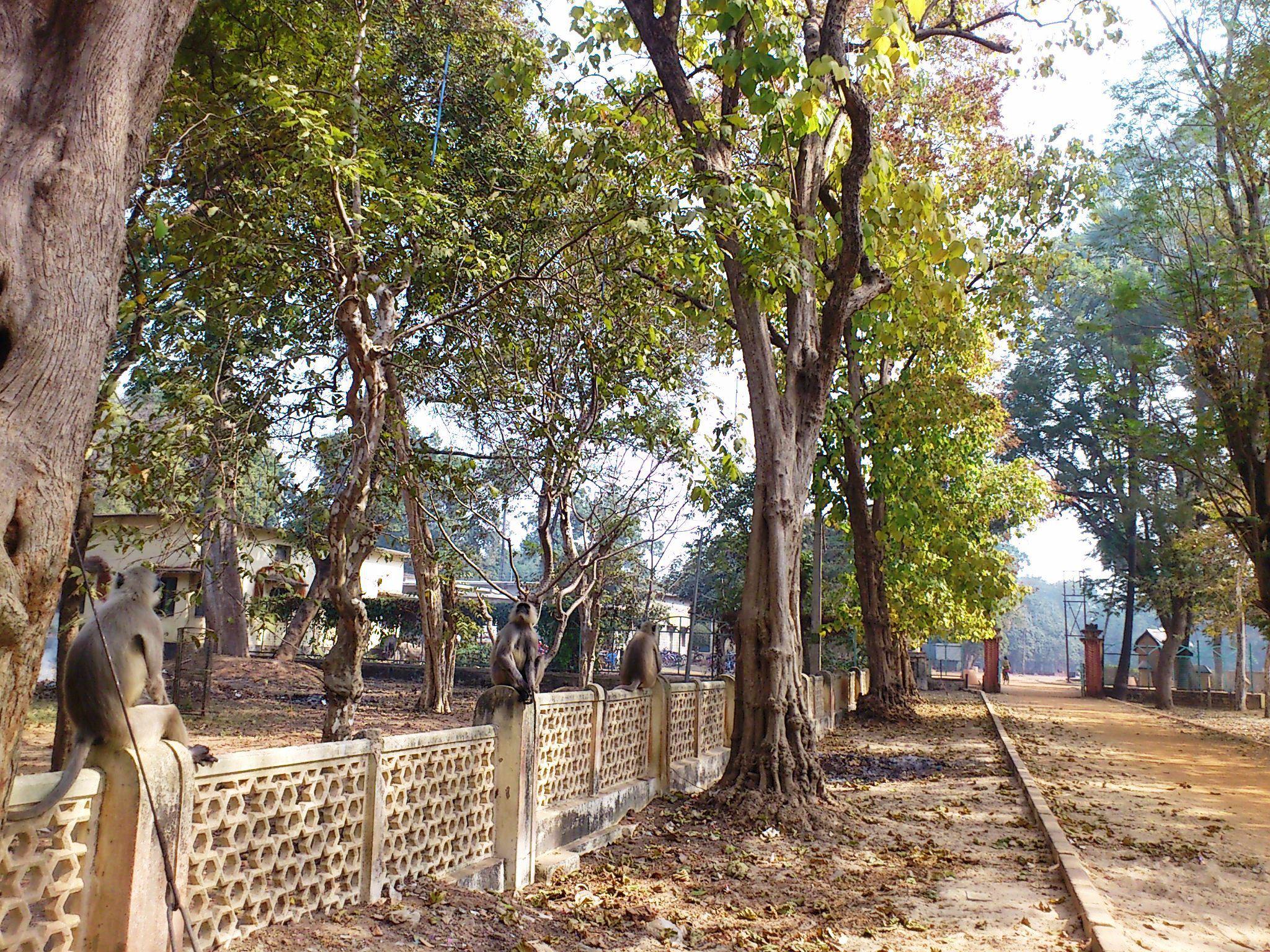 校舎の柵でくつろぐオナガザルの群れ(立ち上がると人の背丈ほど大きい)