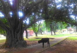 家畜はキャンパス内も自由に出入りする(牛は夜もいる)
