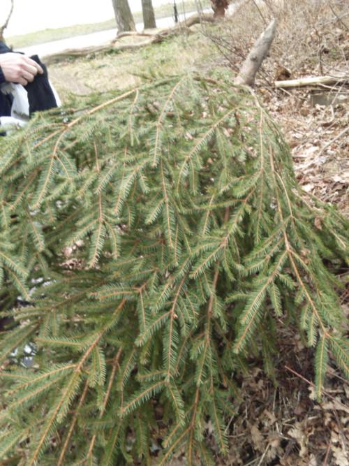 Gran (グラン) もみの木。クリスマスツリーに使われます。1月中旬に、いたる所に落ちてあり、この葉を採取し、染料として使い、鉄媒染でグレーにすることが多いです(辻さん)