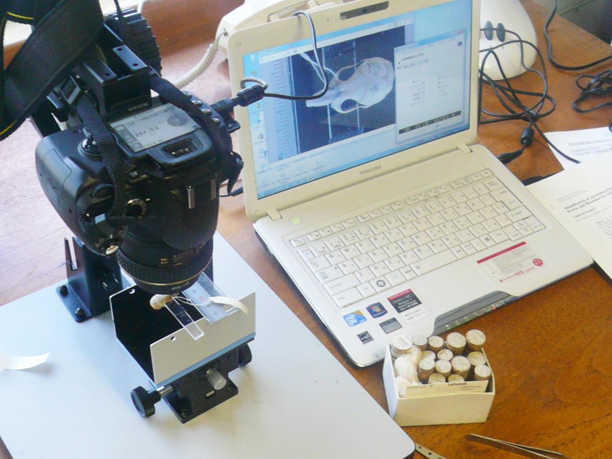 ロンドン自然史博物館での標本調査。小さなネズミの頭骨を撮影しているところ。(2010年撮影)