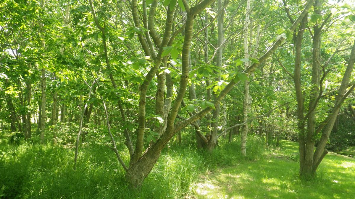 公園内の「縄文の森散策路」。ボランティア団体の植樹活動により縄文時代の植生の再現が試みられています。こちらではエゾリスを発見